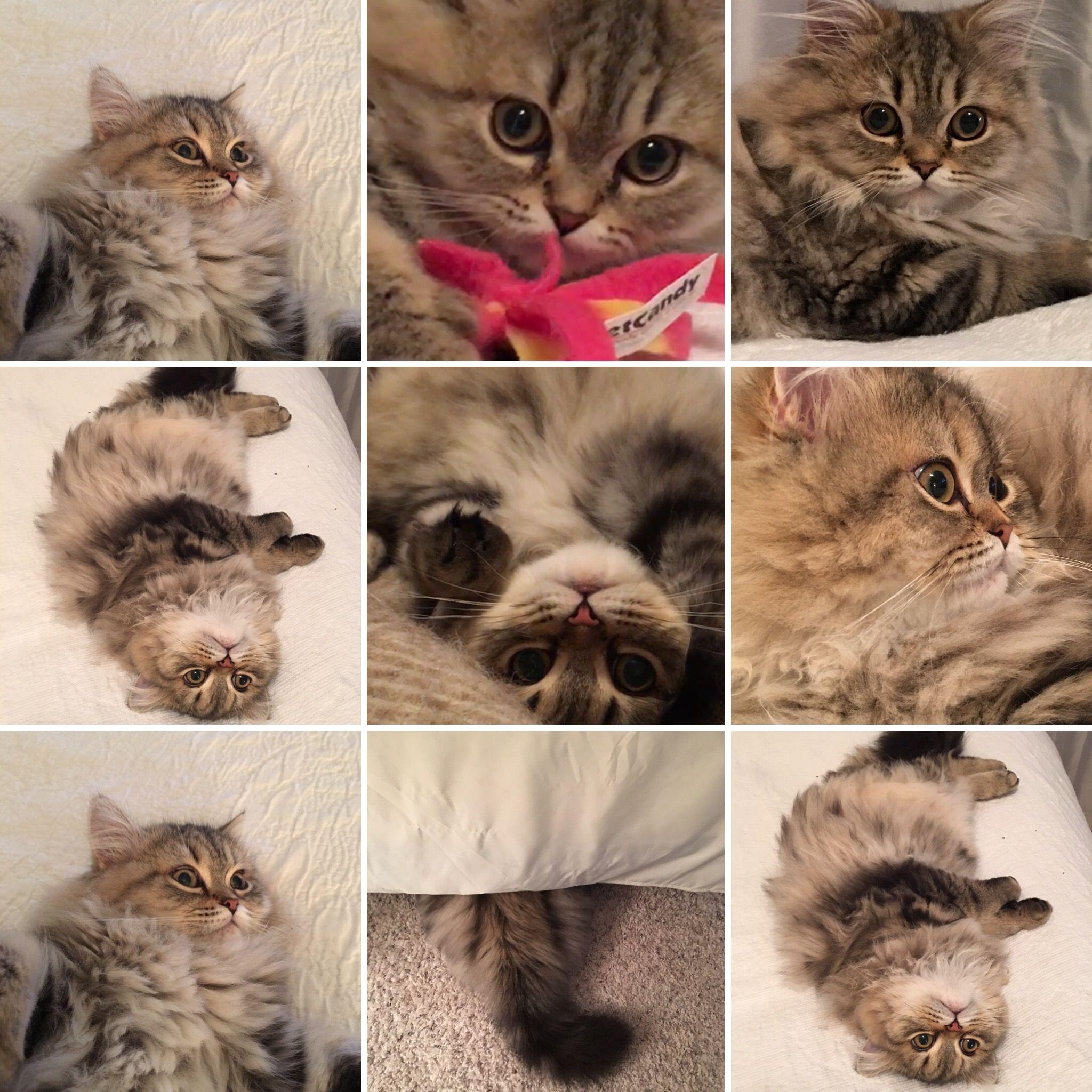 Persian Himalayan Cats For Sale Near Me