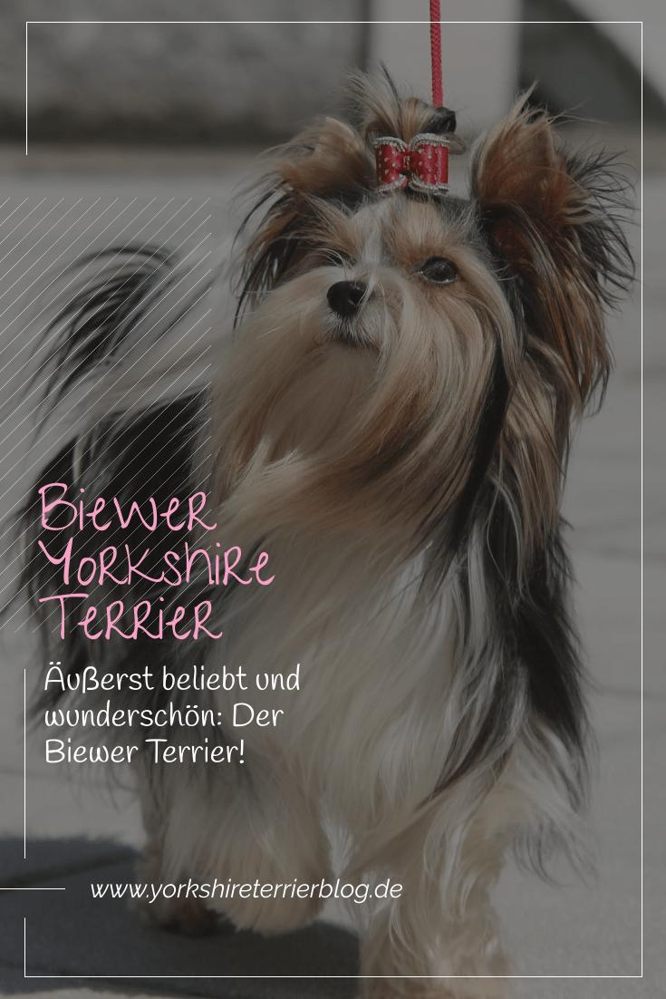 Neben Den Blue Tan Und Black Tan Yorkies Ist Der Biewer Yorkshire Terrier Oder Auch B Yorkshire Terrier Puppies Yorkshire Terrier Yorkie Yorkshire Terrier