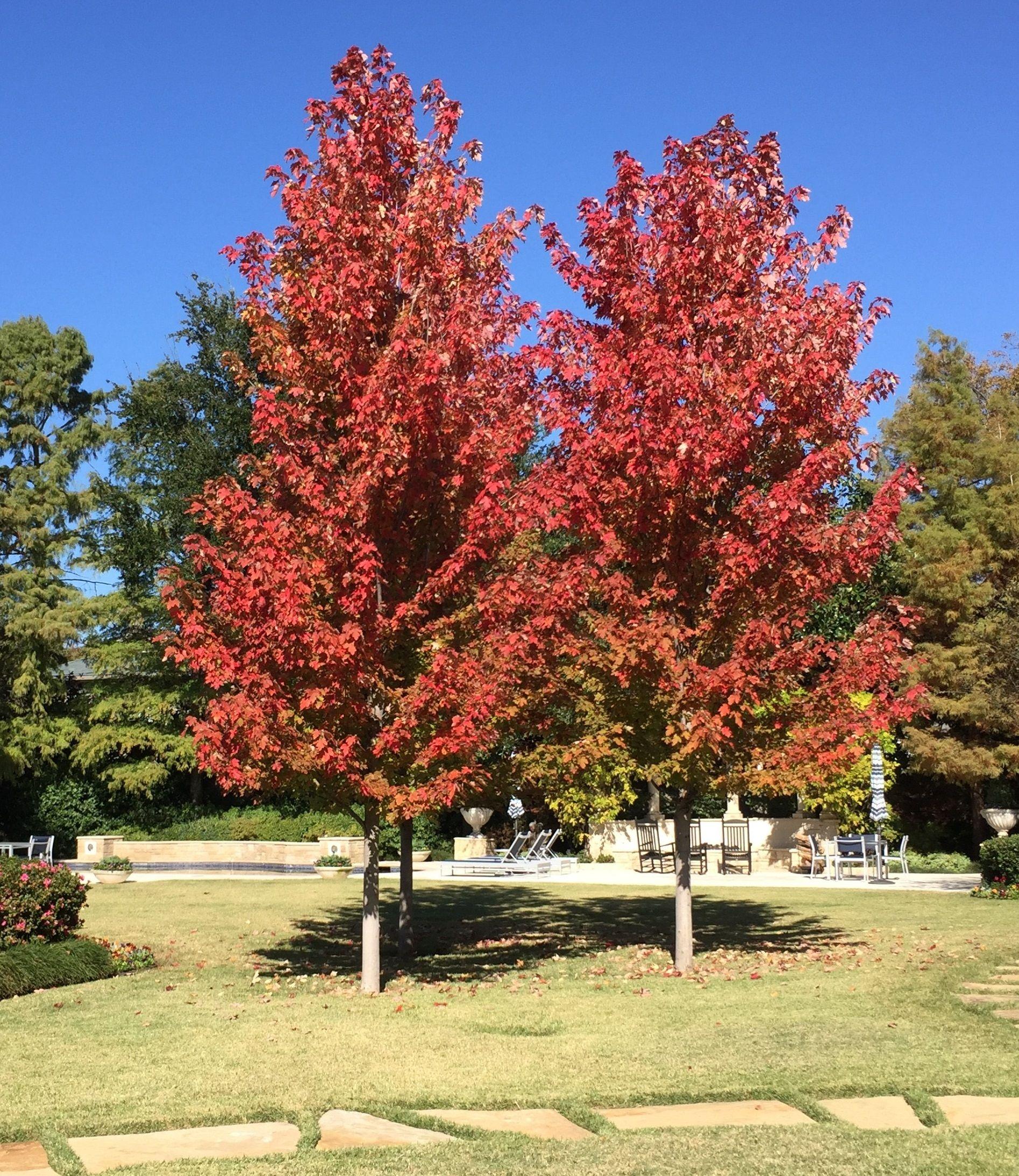 Image Result For Autumn Blaze Maple