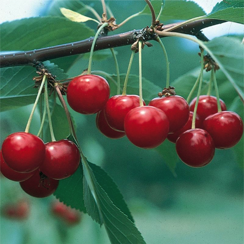 Best Cold Hardy Fruits To Grow At Home Backdoor Survival Sour Cherry Tree Cherry Tree Fruit Trees