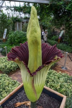 Thousands Line Up For Rare Corpse Flower Bloom Near Chicago Corpse Flower Chicago Botanic Garden Corpse Flower Bloom