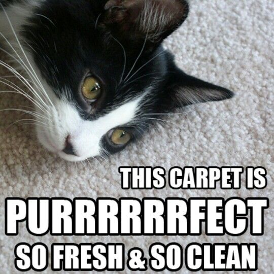 What Did The Cat Say After Hiring Hamilton S Carpet Care