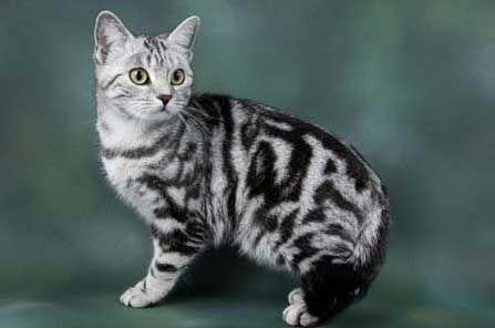 british silver tabby cat british shorthair tabby cat pics