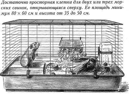 Морские свинки едят сыр