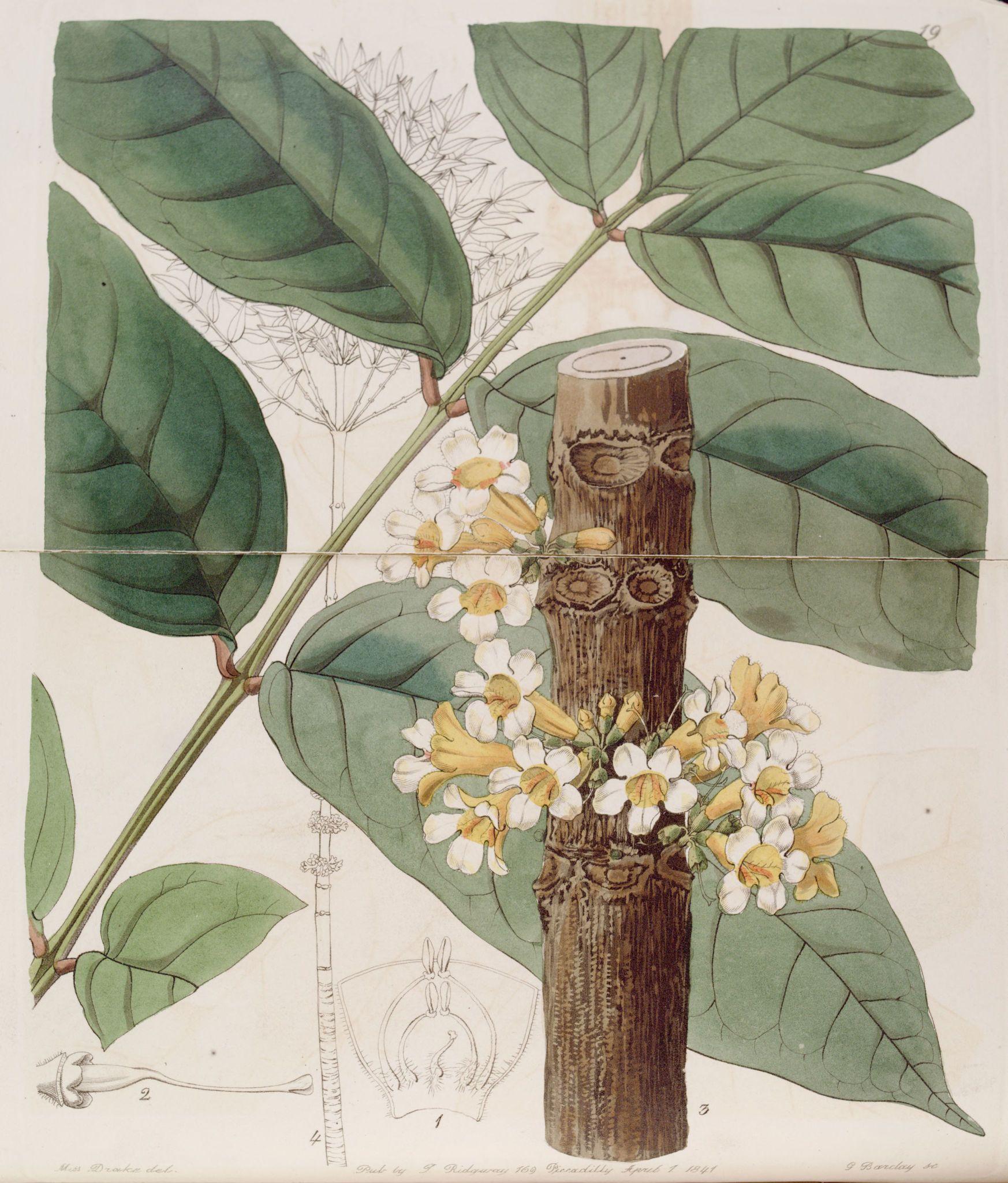 Belles fleurs - Belles fleurs 055 Colea floribunda - The yellow Rei rei - Gravures, illustrations, dessins, images
