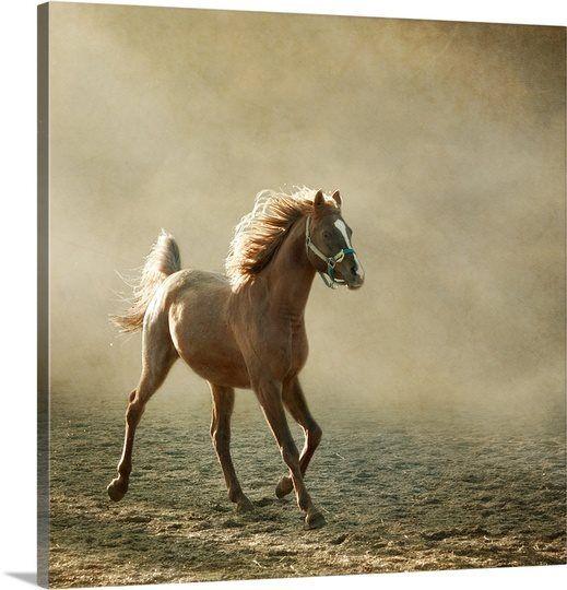 Young Arabian horse trotting, back lighting.