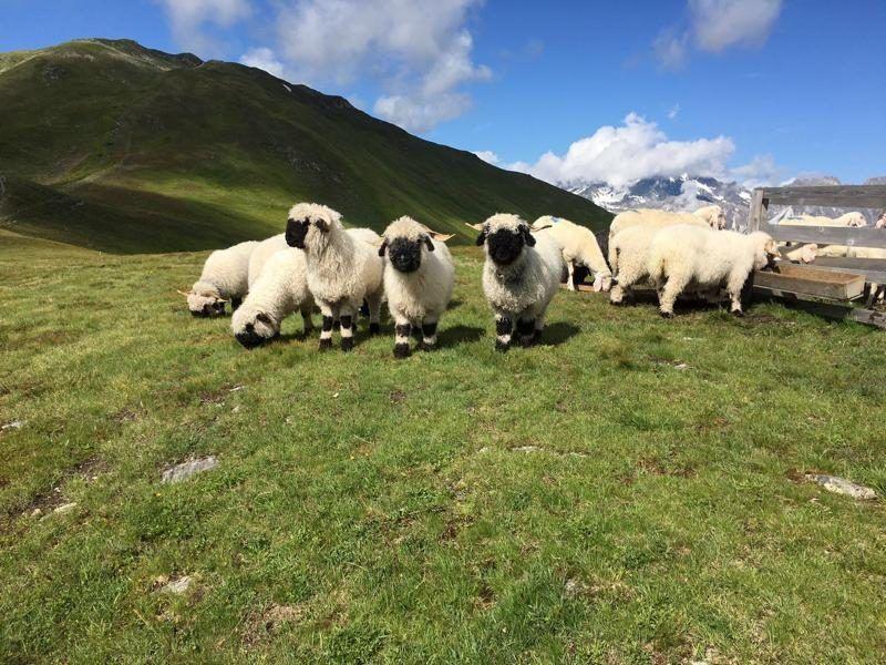 Walliser Schwarznasenzuchtverein Tirol Tiere Nase Schwarze Flecken