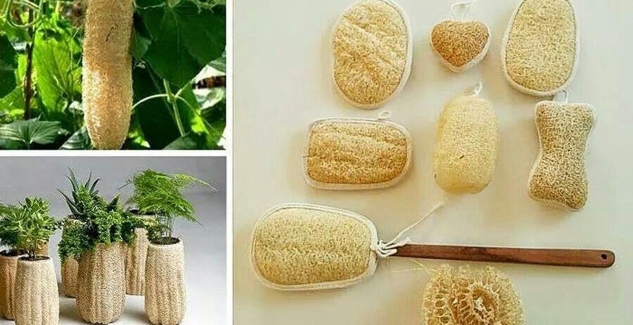 Cultivar Esponjas Naturales Luffa Healthy Garden Backyard Farming