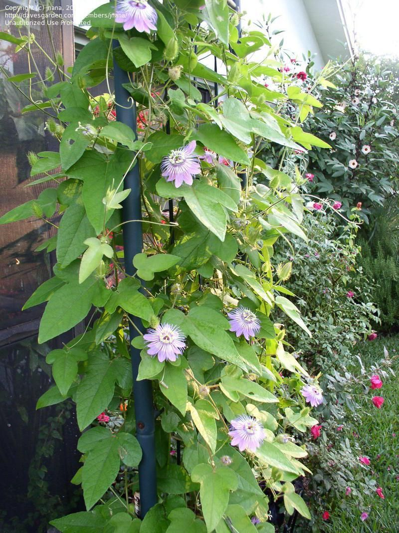 Full Size Picture Of Stinking Passion Flower Goat Scented Passionflower Passion Vine Passionvine Passiflora Foetida Plants Backyard Plants Flowering Vines