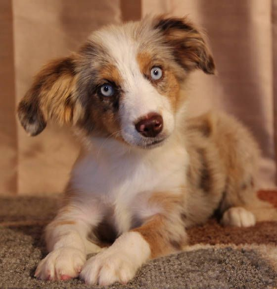 Pin By Julie Bellmore On Cuteness Australian Shepherd Mini