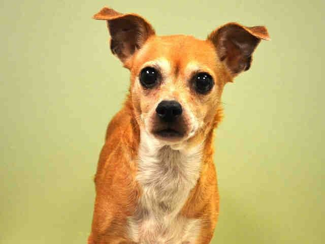 SAFE++ RTO SUPER URGENT 12/16/14 Manhattan Center LADYBUG - A1023231 FEMALE, TAN / WHITE, CHIHUAHUA SH / DACHSHUND, 8 yrs STRAY - ONHOLDHERE, HOLD FOR ID Reason STRAY Intake condition GERIATRIC Intake Date 12/15/2014, From NY 10453, DueOut Date 12/18/2014, I came in with Group/Litter #K14-204984.