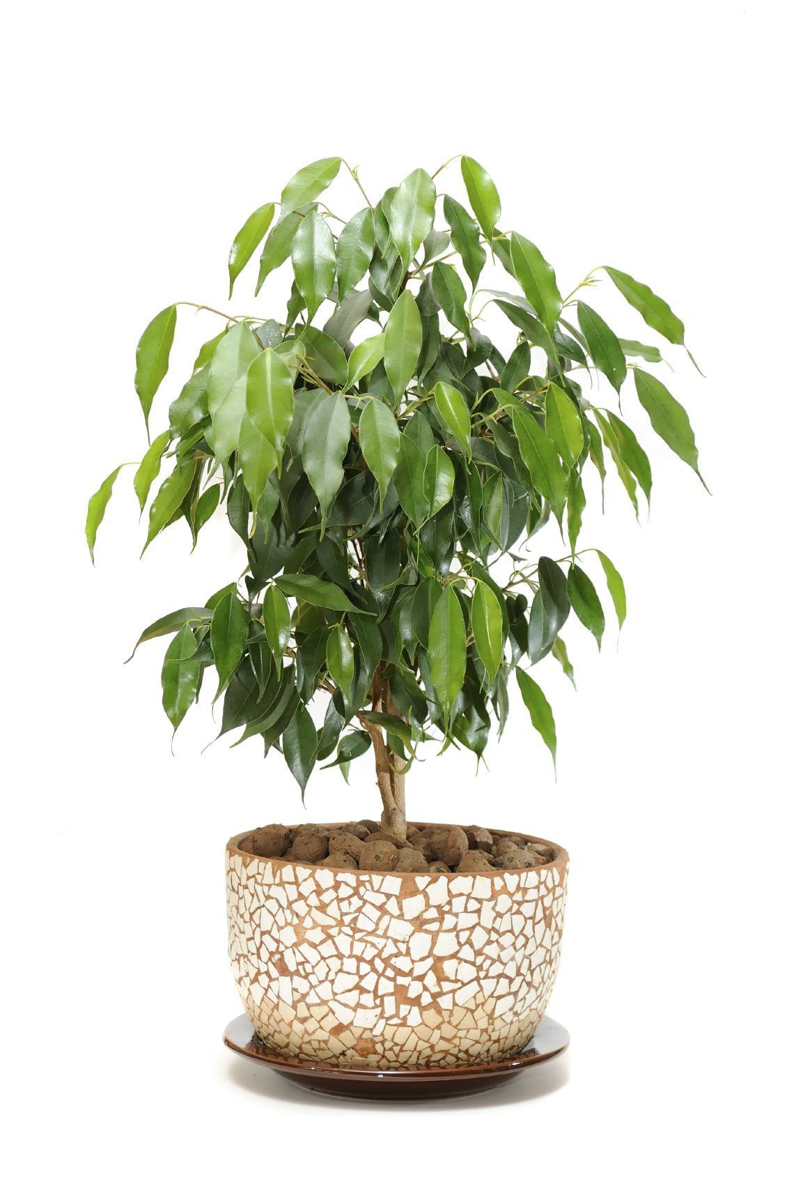 Ficus houseplants how to care for a ficus tree ficus for Less maintenance indoor plants