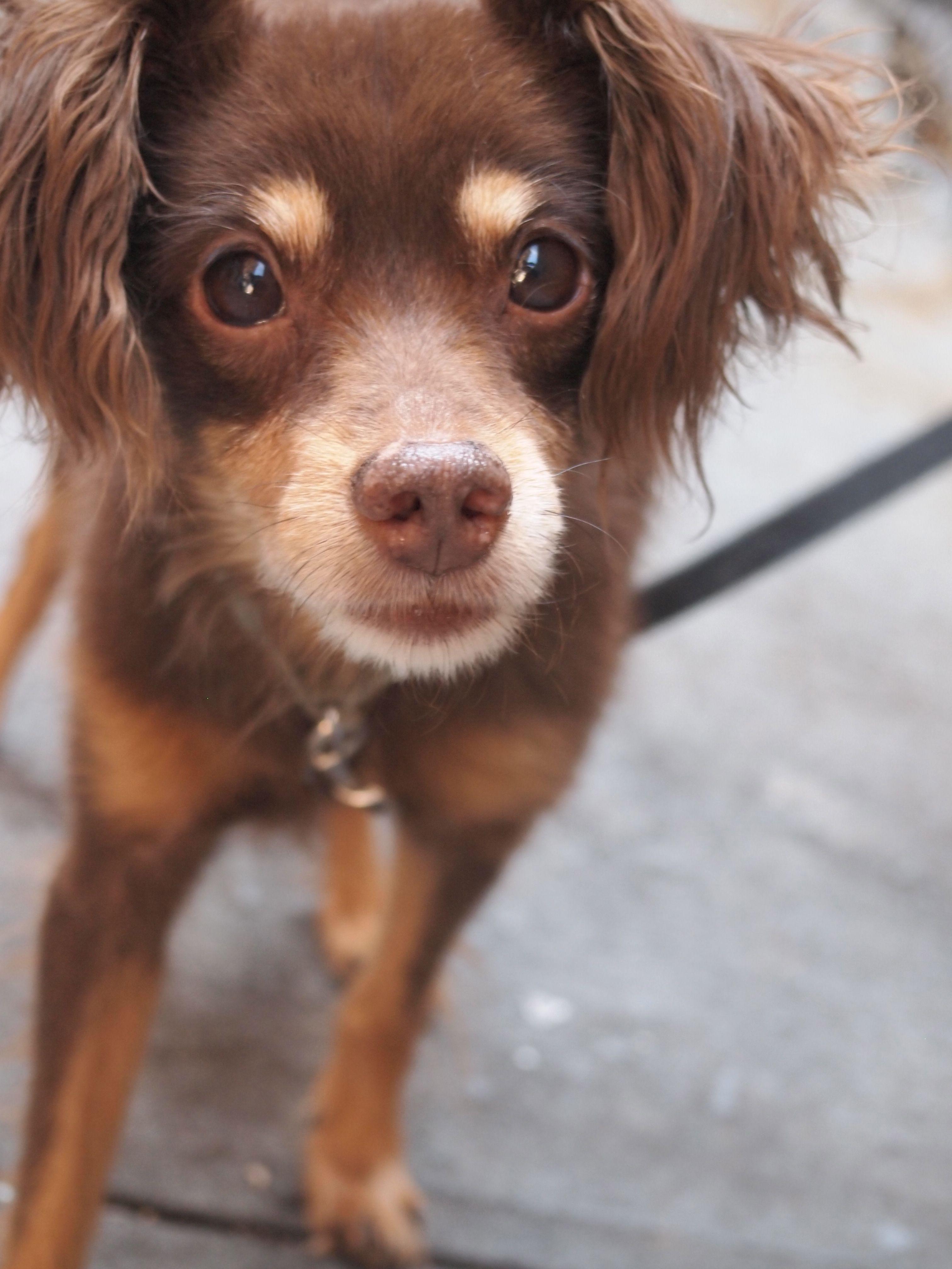 Toy Australian Shepherd Chihuahua Mix Miniature Australian