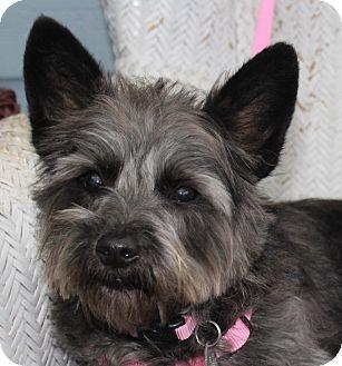 Sullivan Mo Cairn Terrier Poodle Miniature Mix Meet Ruby A