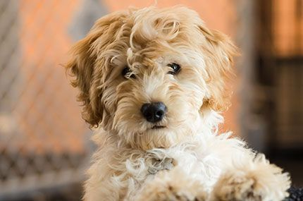 Annies Doodles Family Breeder Of Goldendoodles And