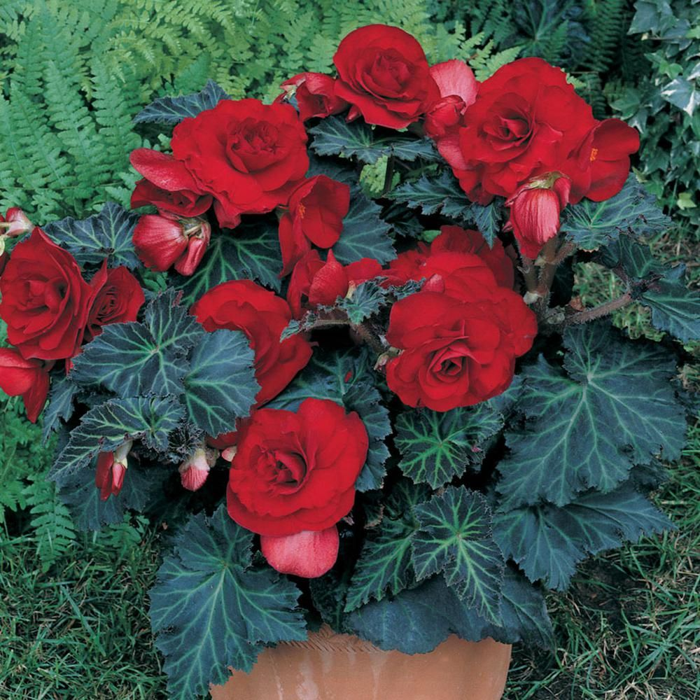 Bible Stories Are True Seeking God S Truth Everything God Created Is Good Nothing Rejected If Received With Thanksgiving Bulb Flowers Planting Bulbs Begonia