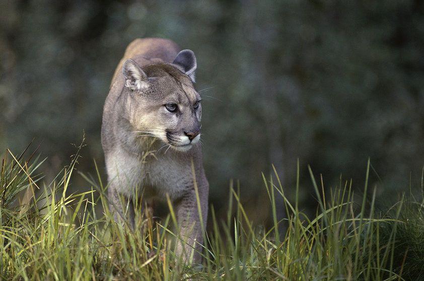 Top Onça-parda (Puma concolor) | Animais do cerrado | Pinterest  SM35