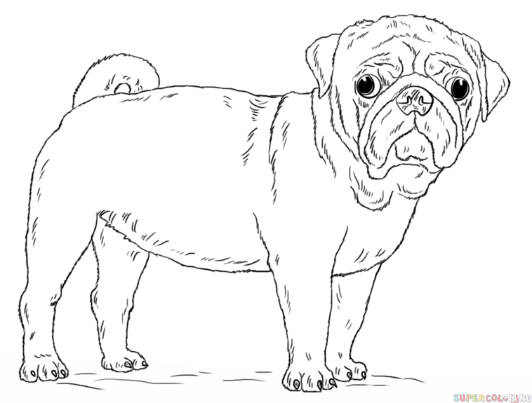 How to draw a pug dog step by step. Drawing tutorials for kids and beginners.