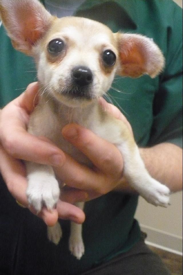 Bell Taco Chichuahua Chihuahua Love Baby Chihuahua Chihuahua
