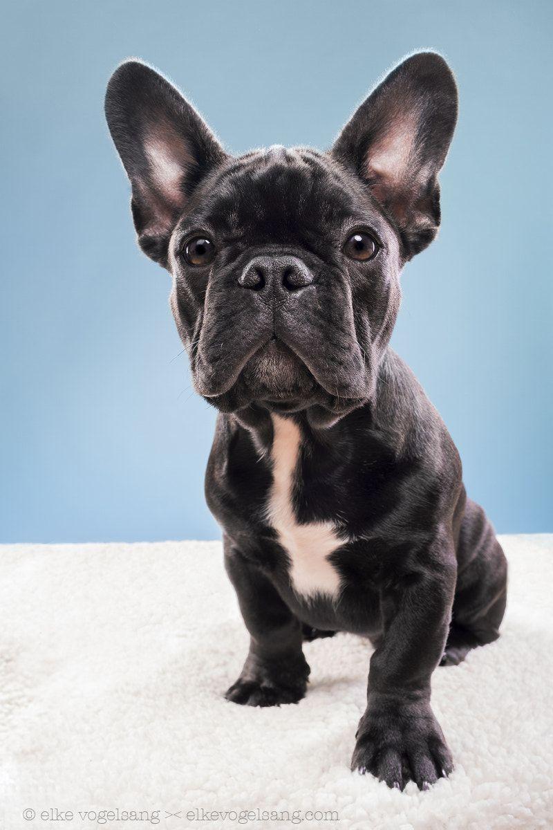 Pin By E Money On Animals Dog Portraits French Bulldog Dog
