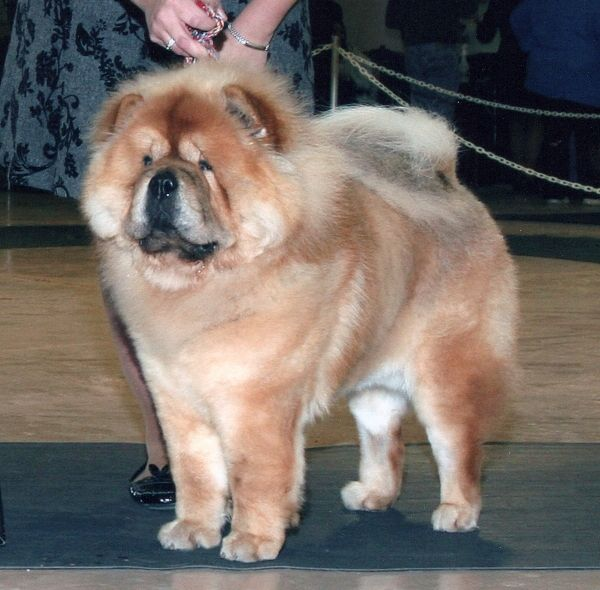 Ch Gable Aka Ch Deja Vu Soldier Of Fortune Chow Chow Dogs Chow Chow Best Dogs