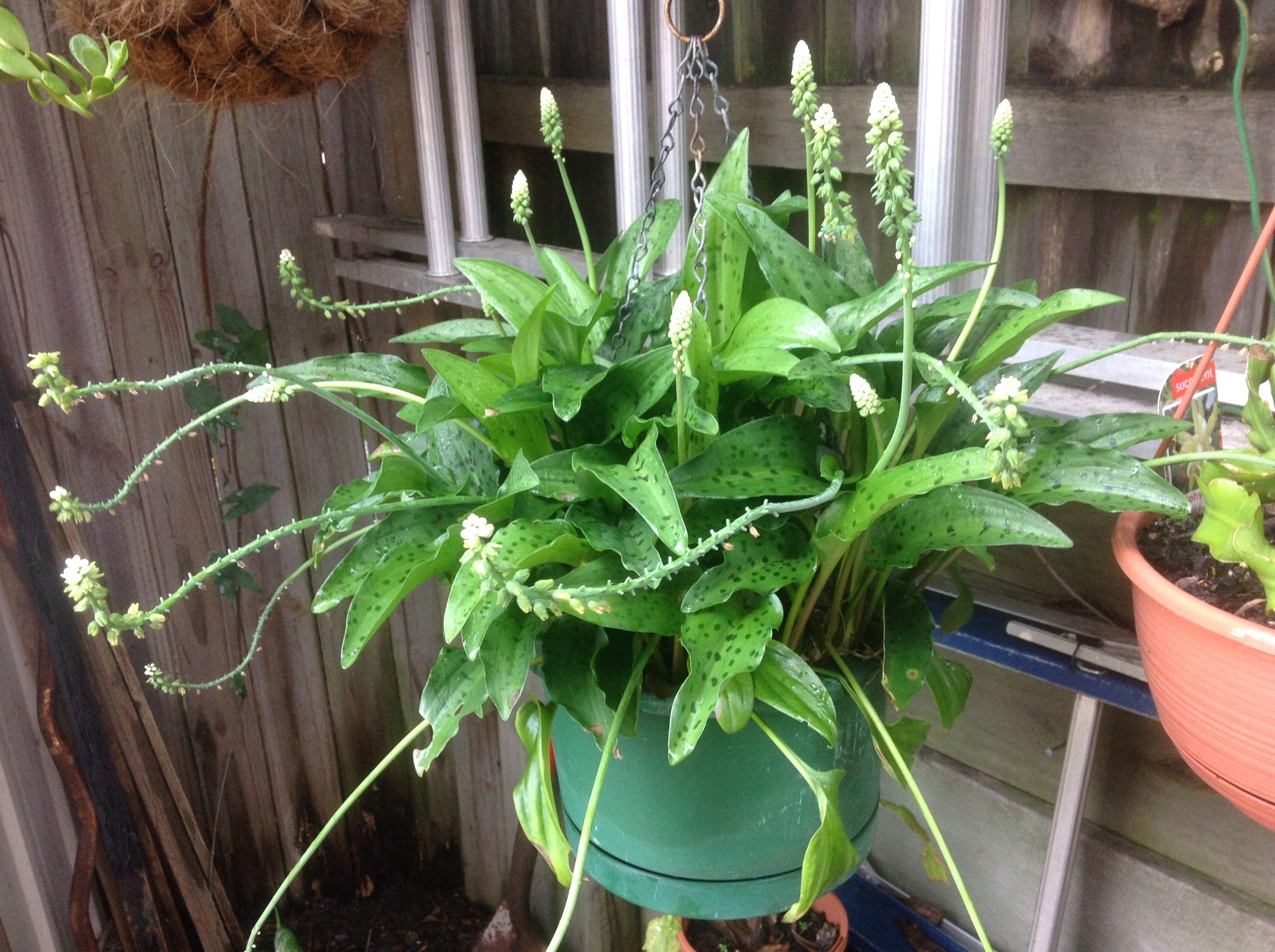Цветок дримиопсис пятнистый: фото, уход в домашних условиях