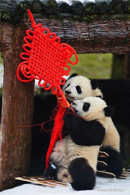Panda babies greet Year of the Monkey - China.org.cn
