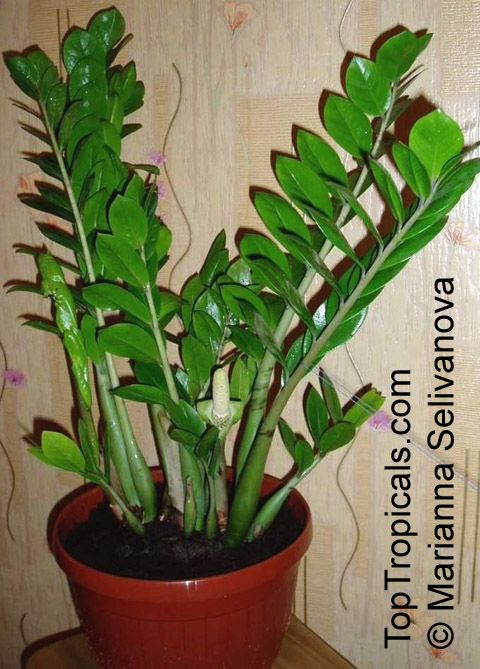 Zamioculcas zamiifolia houseplants flowers pinterest for Plante zamioculcas