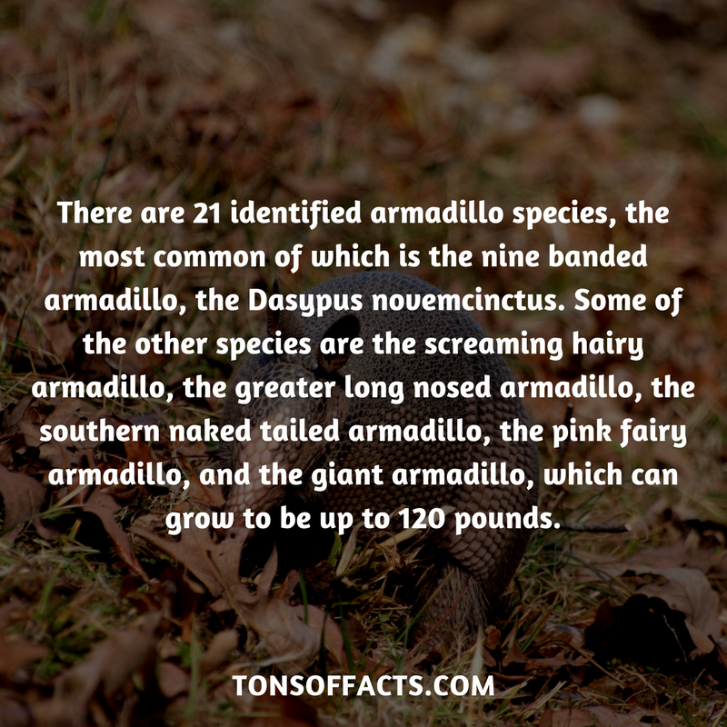 26 Interesting And Weird Facts About Armadillos Fun
