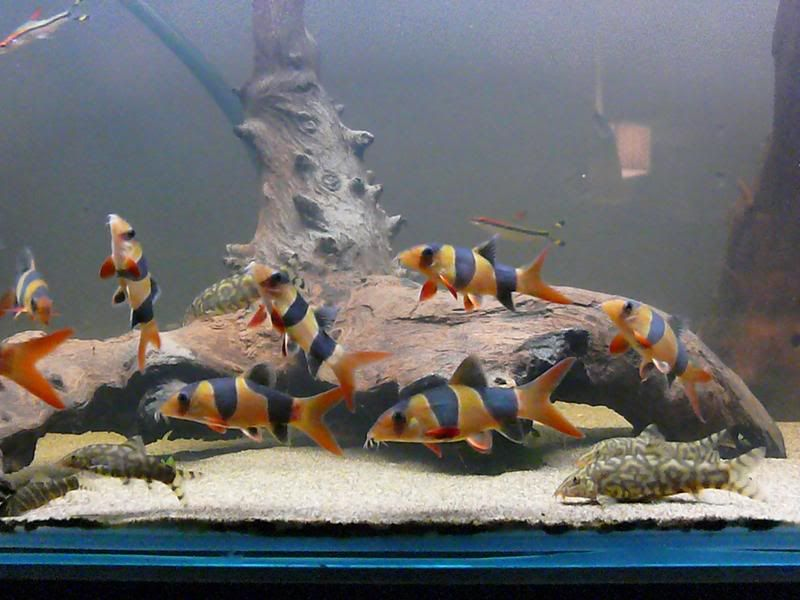 Clown Loach Tank Google Search Freshwater Aquarium Fish Betta Fish Tank Pet Fish