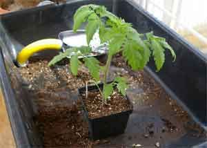 Photo of Grow Stockier, Bushier Tomato Plants This Year