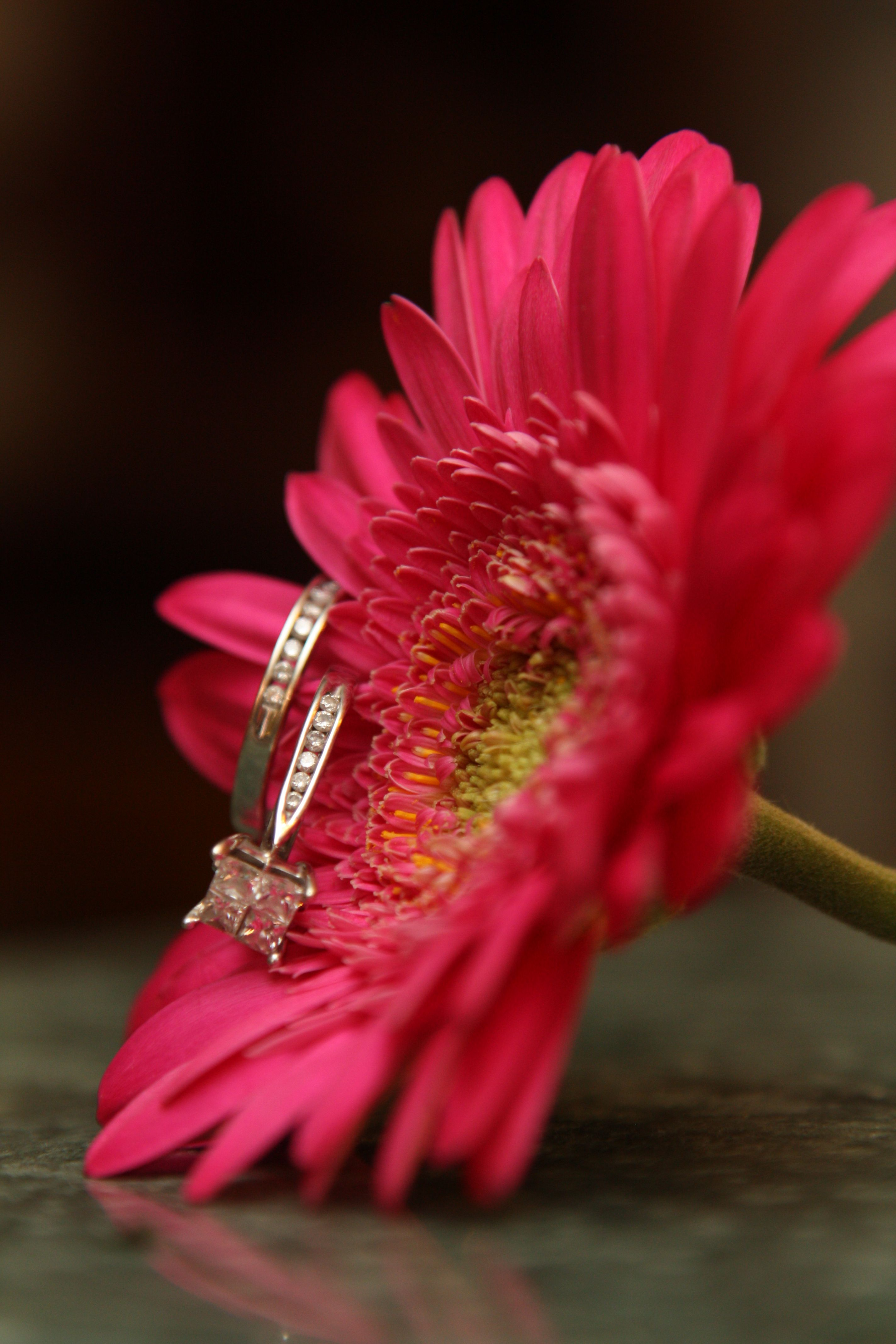 Pink Gerbera Daisy And My Engagement Ring Pink Gerbera Gerbera Daisy My Engagement Ring