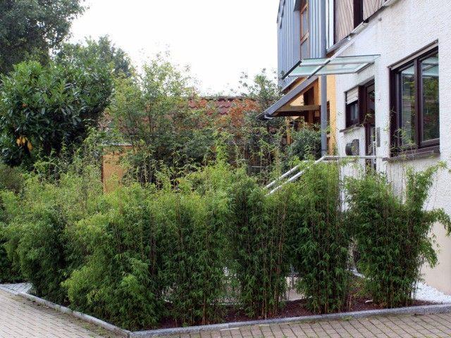 Ausführliche Informationen zu mittelhohen Bambushecken