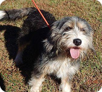 Williamsport Md Tibetan Terrier Bearded Collie Mix Meet