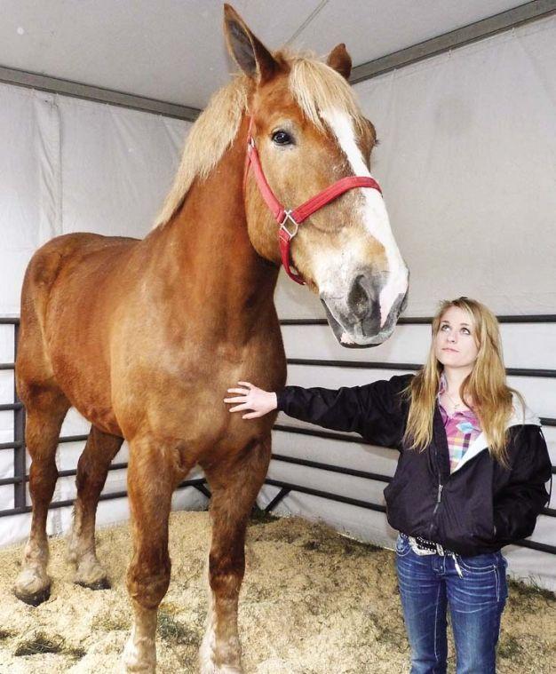 big jake belgians horses draft horses clydesdale rh pinterest com
