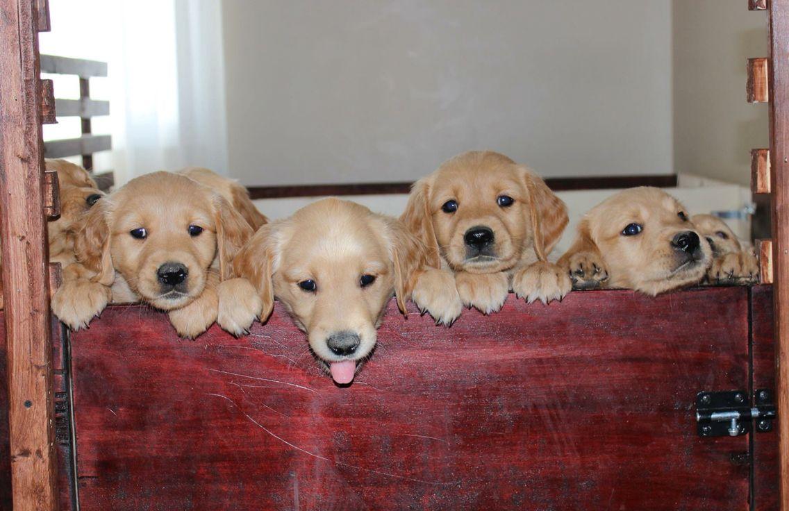 golden retriever breeders las vegas