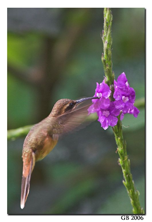 Phaethornithinae hummingbirds Little Hermit Hummingbird (Phaethornis longuemareus)