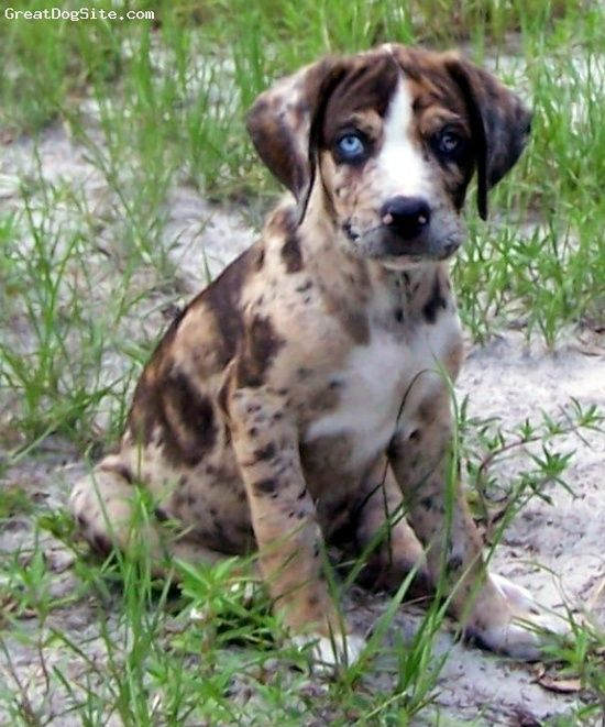 This Is A Louisiana Catahoula Leopard Dog I Love The Multi Colors And One Blue One Brown Eye T With Images Louisiana Catahoula Leopard Dog Leopard Dog Catahoula Puppies