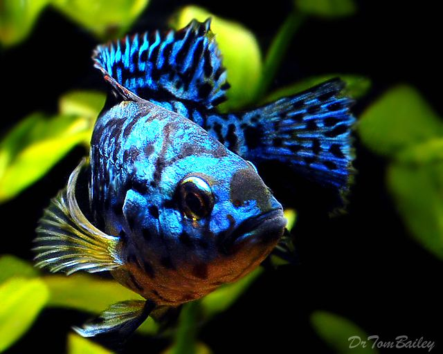 Electric Blue Jack Dempsey South American Cichlid Aquarium Fish Cichlids American Cichlid