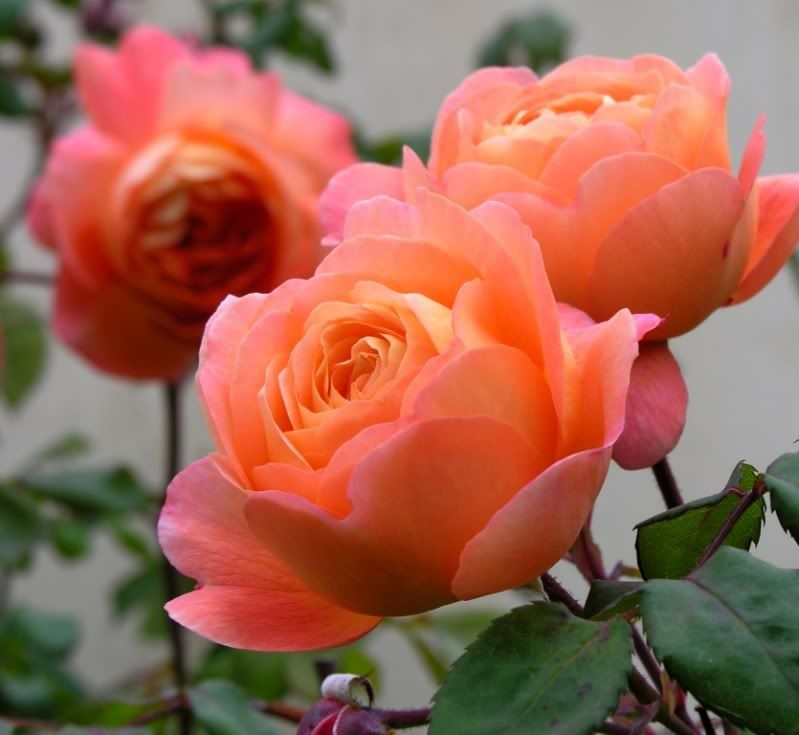 lady emma hamilton da roses bushy shrub of medium size. Black Bedroom Furniture Sets. Home Design Ideas