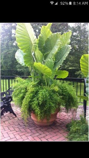 Asparagus fern and Elephant Ear planter.