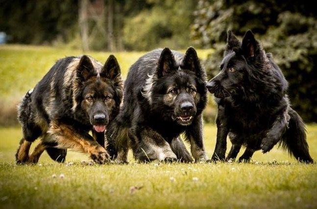 Beautiful Gsd Pack Sable German Shepherd German Shepherd Dogs