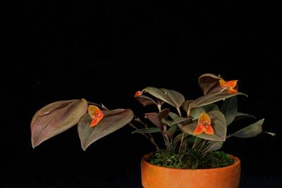 Orchids in Bloom: Lepanthes niesseniae