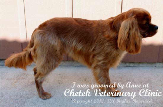 Cavalier King Charles Spaniel Summer Haircut Google Search Cavalier King Charles Cavalier King Charles Spaniel King Charles Cavalier Spaniel Puppy