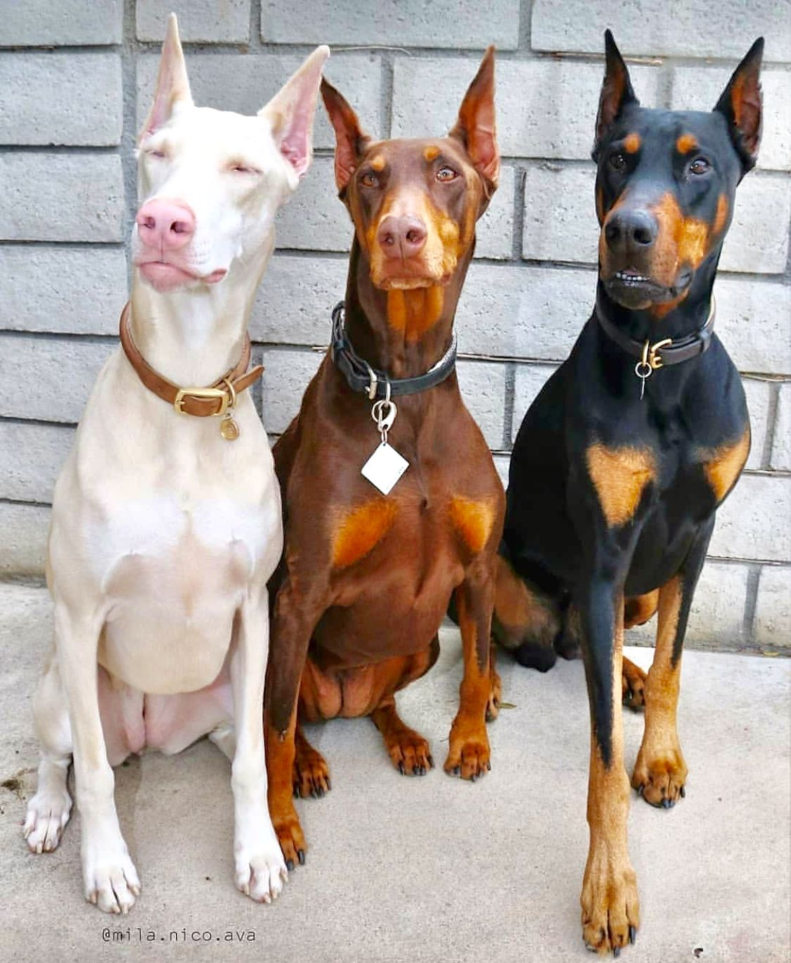 Dobermans Doberman Pinscher Dog Dog Breeds Doberman Puppy