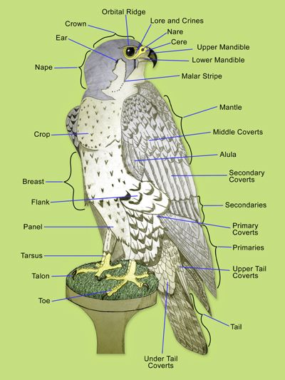 anatomy of a falcon wing  Google Search | raptor