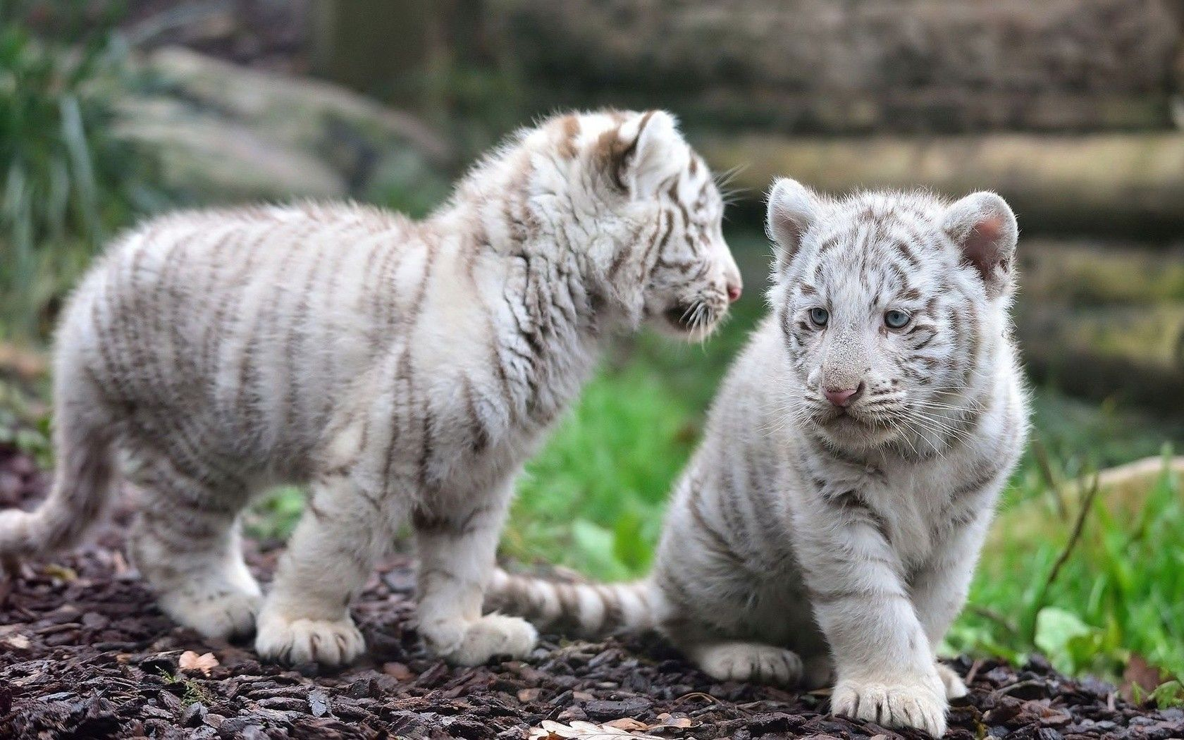 Pin By Jaypmf On White Baby White Tiger Pet Tiger Tiger Pictures