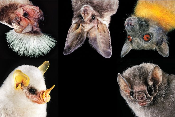 The varied faces of bats. Specially love the little yellow ...