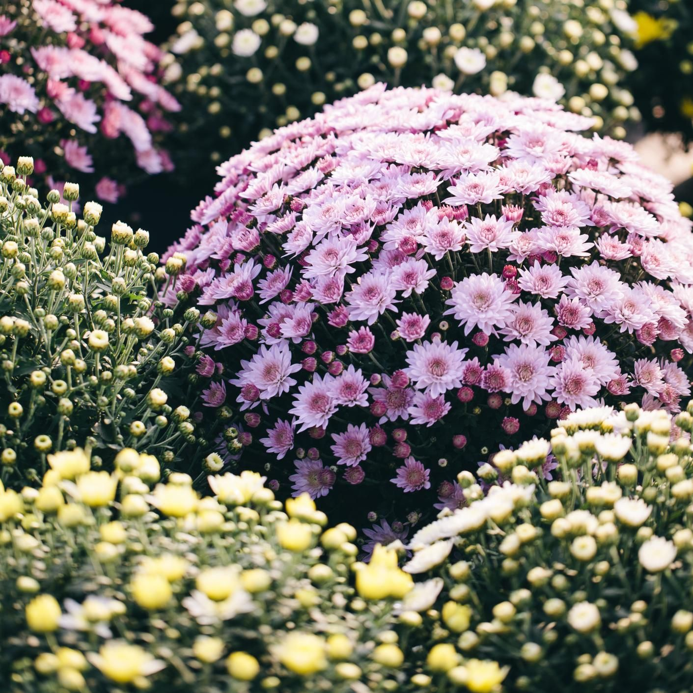 List of flowering evergreen shrubs garden let 39 s plant for Low maintenance evergreen shrubs