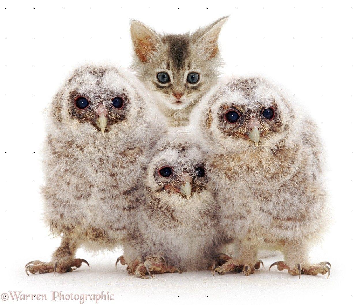 Owls Wp04192 Baby Tawny Owls With Kitten Tawny Owl Cute Baby Owl Owl